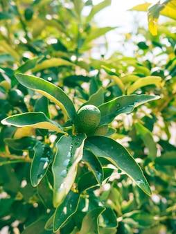 Zielony kumkwat fortunella kinkan na drzewie owocowe drzewo cytrusowe