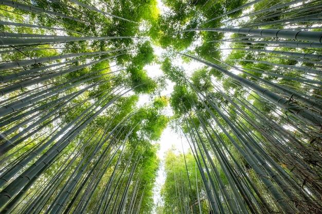Zielony las bambusowy, w którym świeci słońce