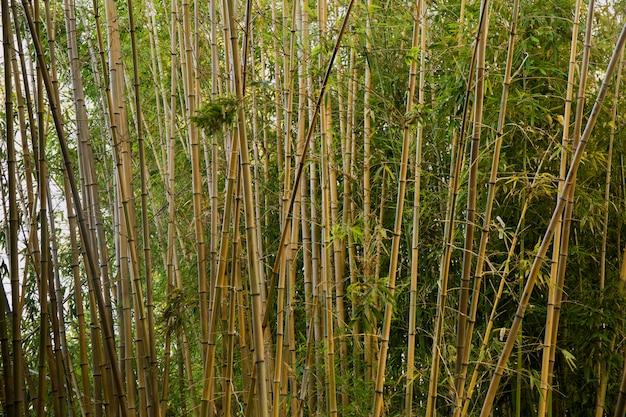 Zielony las bambusowy w świetle dziennym