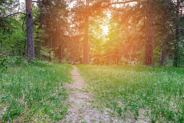 Zielony las na zachód słońca w lecie. naturalne tło