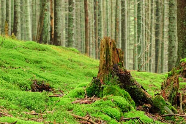 Zielony las ze starymi drzewami z porostami i mchem