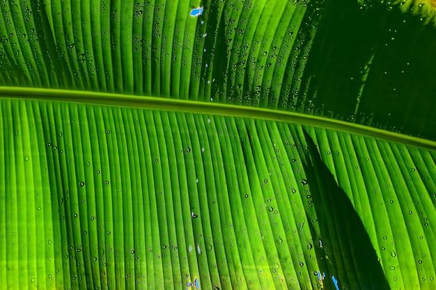 Zielony liść bananowca