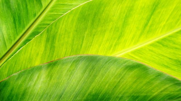 Zielony liść bananowy