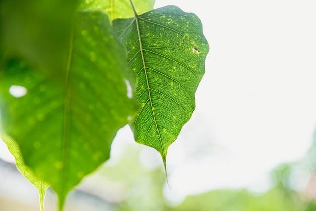 Zielony liść buddha pho liść bothi liść lub bho liść w tajlandia świątyni