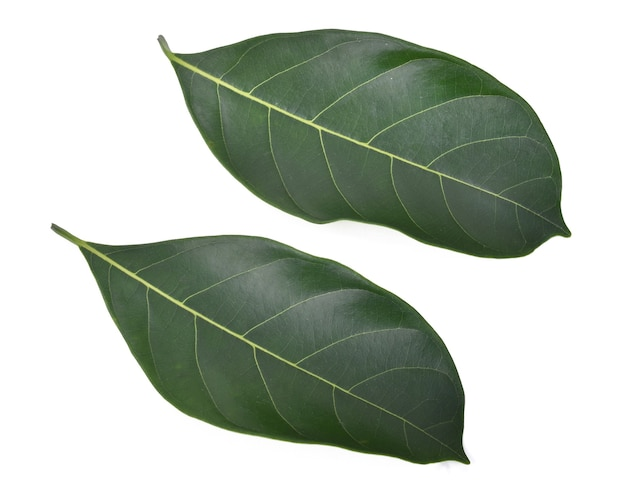 Zielony liść chlebowca na białym tle