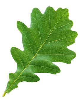 Zielony liść dębu na białym tle. zielnik, jeden młody liść. liście, liście drzewa.