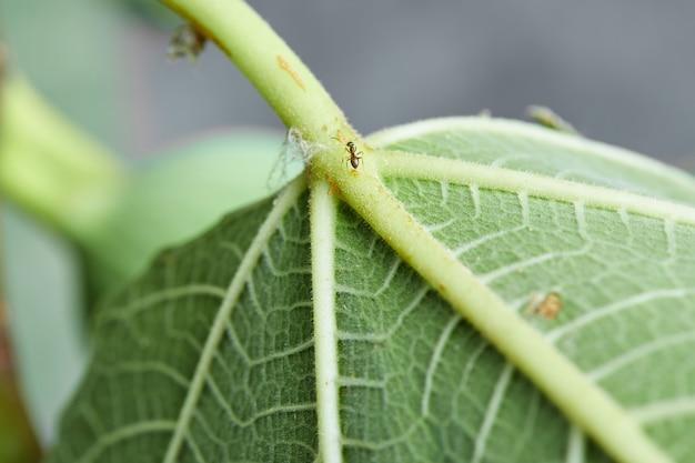 Zielony liść figowy na drzewie w ogrodzie.
