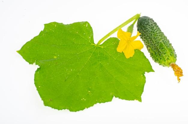 Zielony liść i owoc świeżego ogórka na białym tle. zdjęcie studyjne.