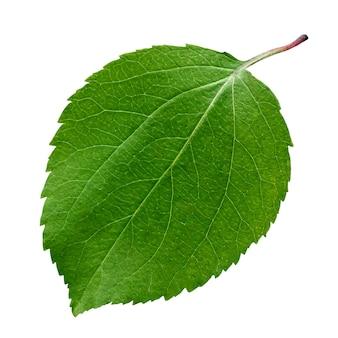 Zielony liść jabłoni na białym tle. jeden świeży młody liść.