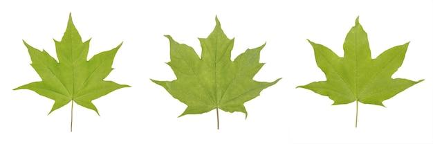 Zielony liść klonu acer platanoides lub acer saccharum na białym tle.