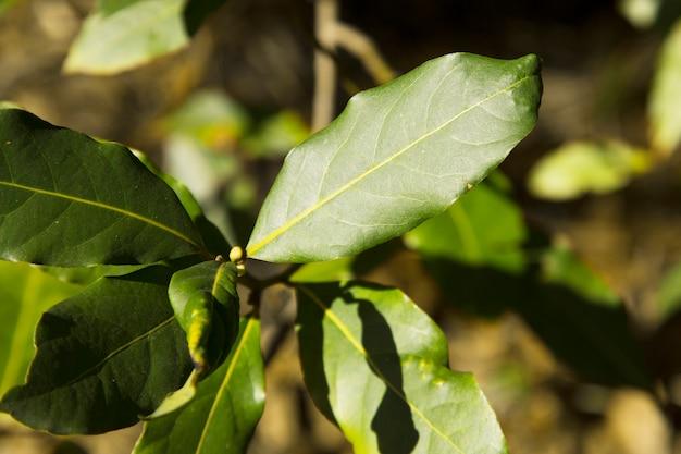 Zielony liść laurowy rosnący w przyrodzie, przyprawowe tło składnikowe młode liście drzewa laurowego, wczesna wiosna