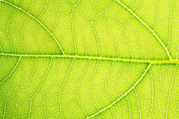 Zielony liść, makro, zoom