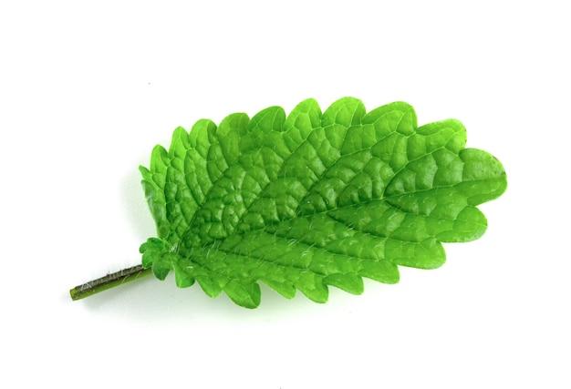 Zielony liść melisy na białym tle.