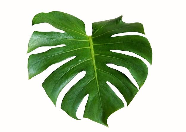Zielony liść monstera deliciosa na białym tle