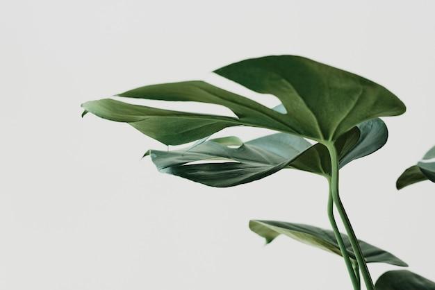 Zielony liść monstera tło z przestrzenią projektową