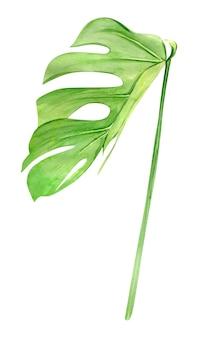 Zielony liść monstery. tropikalna roślina. ręcznie malowane akwarela ilustracja na białym tle. realistyczna sztuka botaniczna.