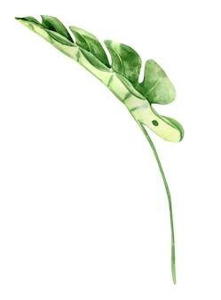 Zielony liść monstery. tropikalna roślina. ręcznie malowane akwarela ilustracja na białym tle.