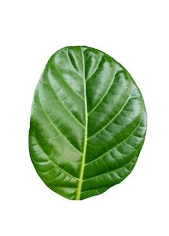 Zielony liść morinda citrifolia, owoc noni. na białym tle