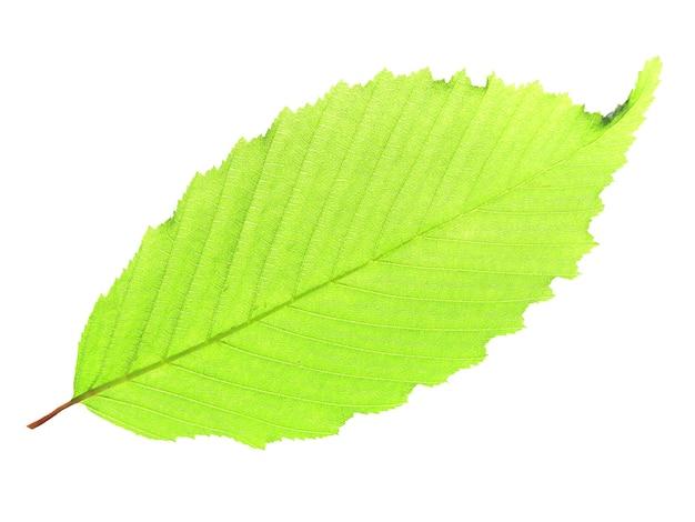 Zielony liść na białym tle na białym tle