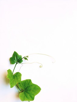 Zielony liść odizolowywający na białym tle