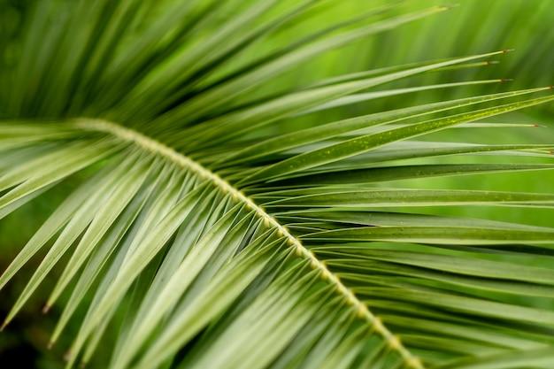 Zielony liść palmowy, zakończenie. fototapeta ze ścianą palmy. miejsce na tekst