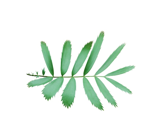 Zielony liść palmy na białym tle biały ze ścieżką przycinającą