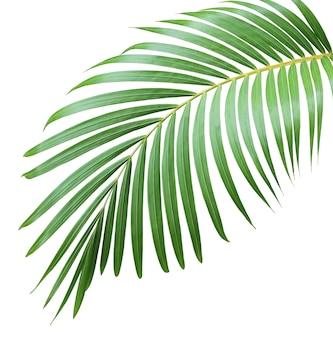 Zielony liść palmy na białym tle