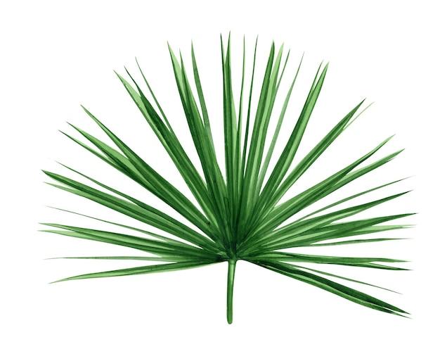 Zielony liść palmy. tropikalna roślina. ręcznie malowane akwarela ilustracja na białym tle.