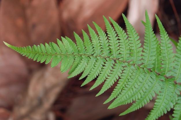 Zielony liść paproci z bliska (paproci stóp królika)