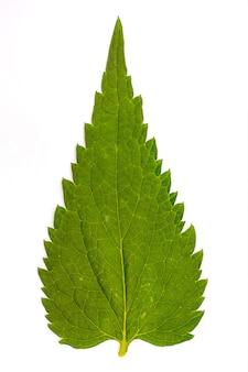 Zielony liść pokrzywy na białym tle na białym tle