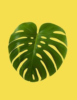 Zielony liść rośliny tropikalnej monstera na białym tle na żółtym tle