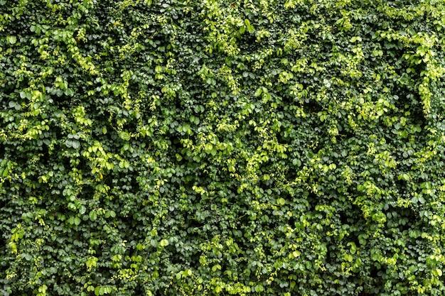 Zielony liść ściana tekstura tło. winorośl na ścianie. koncepcja tapeta świeżości środowiska.