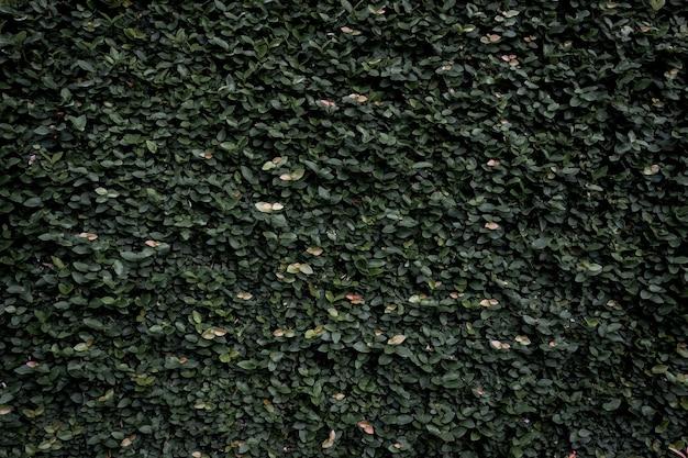 Zielony liść ściana tekstura tło. winorośl na ścianie.