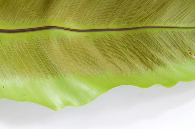Zielony liść tekstury tła na białym tle