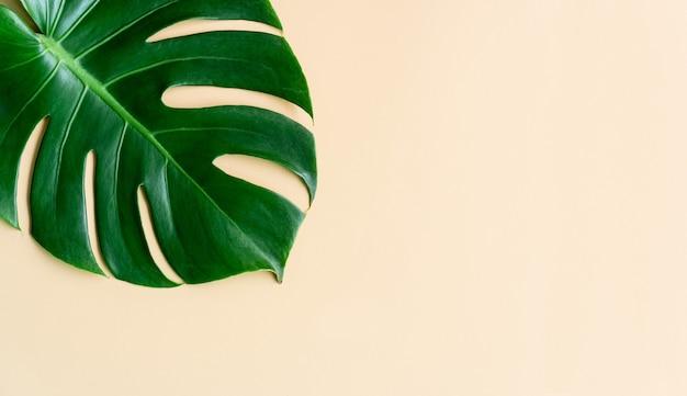 Zielony liść tropikalny monstera na nagi kolor tła. widok z góry, kopia miejsca
