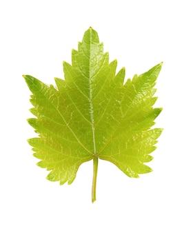 Zielony liść winogron na białym tle. ścieżka przycinająca.