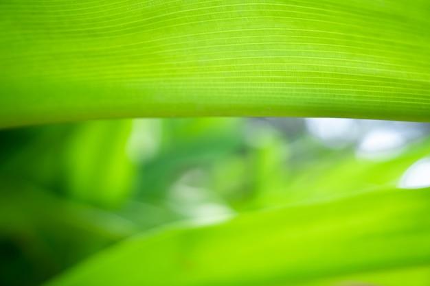 Zielony liść z bliska natury w relaksującym nastroju i tonie z gładką krzywizną i linią na krawędzi liścia.