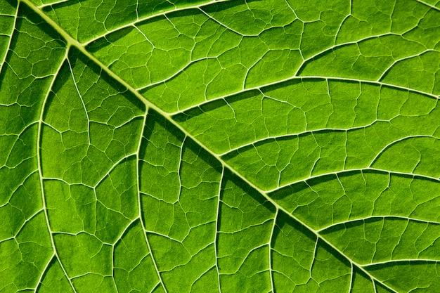 Zielony liść z żyłkami roślin zbliżenie. naturalne tło