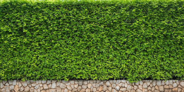 Zielony liść żywopłot dla natury tła lub tła
