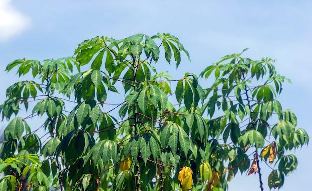 Zielony maniok pozostawia manihot esculenta powszechnie nazywany manioku manioku lub yuca w płytkim skupieniu