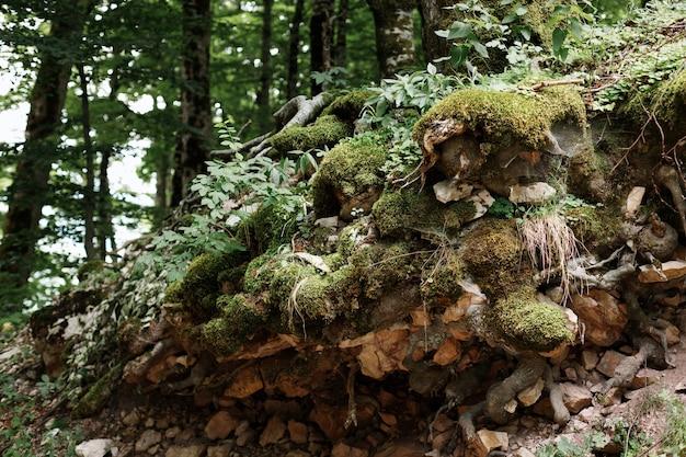 Zielony mech na kamieniach i korzeniach drzewa. tło jest naturalne. zbliżenie