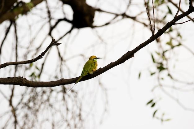 Zielony merops orientalis znany również jako mały zielony beeeater spoczywający na gałęzi