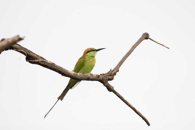 Zielony Merops Orientalis Znany Również Jako Mały Zielony Beeeater Spoczywający Na Gałęzi Premium Zdjęcia