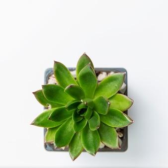 Zielony mini soczysty w doniczce. widok z góry.