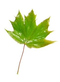 Zielony mokry liść klonu na białym tle