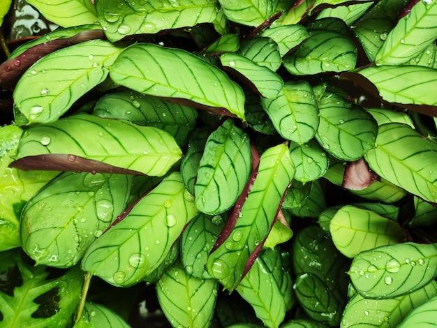 Zielony mokry tropikalny liści tło. roślina kalatei z kroplami wody