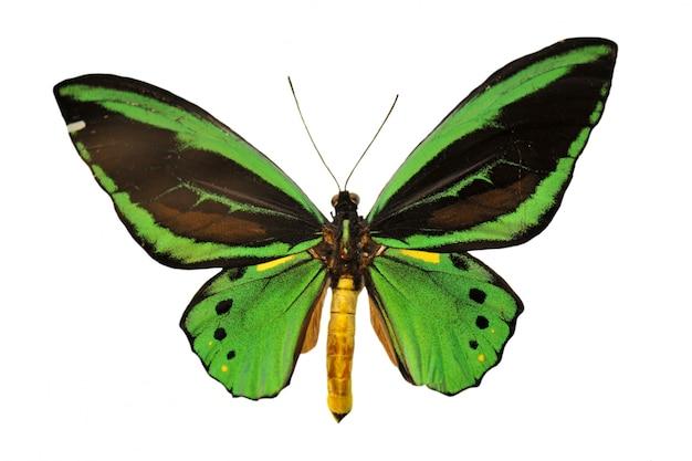 Zielony motyl