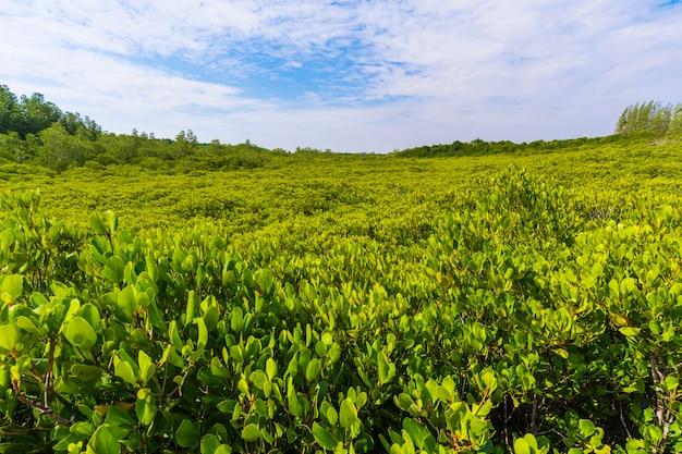 Zielony namorzynowy las przy dzwoniącym prong paskiem lub złoty namorzynowy pole, rayong, tajlandia