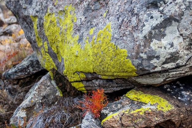 Zielony naturalny mech na głazach w stepie