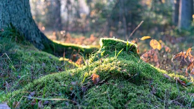 Zielony naturalny mech w lesie.
